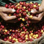 EPAMIG avalia opções de controle biológico contra pragas do café